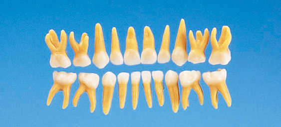 Tooth Model Anatomical Primary Tooth Model B4 309