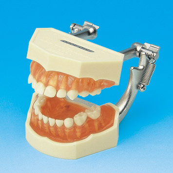 Tooth Anatomy Ana Study Model With Removable Teeth Primary Pe